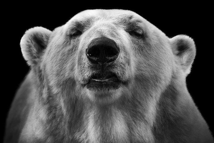与大多数关注野生动物自然之美的摄影师不同,德国摄影师Wolf Ademeit捕捉到动物园里动物们丰富的面部表情和内心世界,为这些孤独的动物拍摄了一系列黑白肖像照。   在这组名为《动物》的作品集中,人们所谓的危险动物也展现出它们充满爱与美的一面。Ademeit将自己的作品定位于艺术摄影而非单纯的记录。他认为,动物园中的动物是很容易被摄影师忽视的对象,而他拍摄的这些照片并不仅仅是为了记录,而是将人像摄影中的艺术手法运用到动物身上,展现动物的内心世界。   在长达五年的拍摄过程中,Ademeit对每个画幅的大