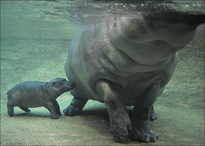 在德国柏林动物园,明星小河马亮相.