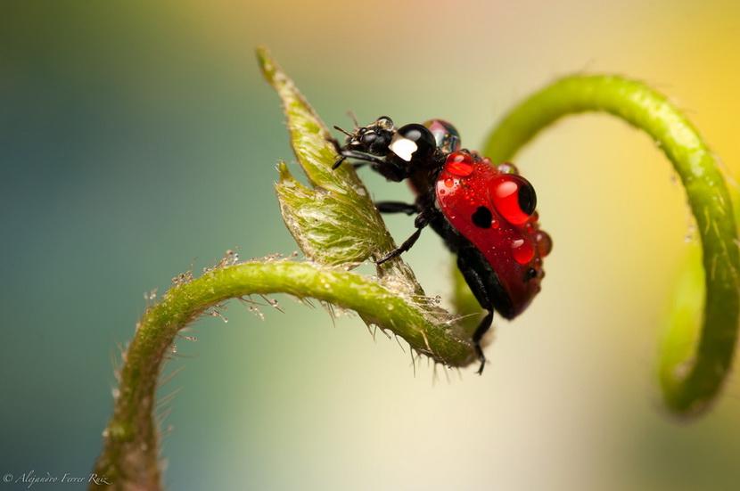 似乎世界上绝大多数虫子都不受女性欢迎,但英文名字为「Ladybug」的瓢虫会否是个例外呢?这种红色带黑点的甲虫,不单外形混圆小巧,而且感觉人畜无害,牠的花纹更是不少设计师的灵感来源 (我又想起了徐小凤),而有关牠们的图案与照片,也深受不少人欢迎。这系列来自西班牙摄影师 Alejandro Ferrer Ruiz 的作品,就以微距摄影将瓢虫的可爱展示了出来。  这些作品的吸引之处,不单把甲虫拍得清晰亮丽,而且也甚有故事性,看来就似在找