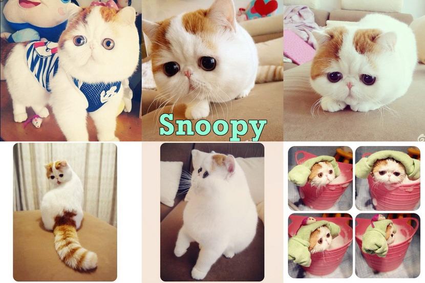 这是名叫snoopy 的大头猫生活在中国成都.