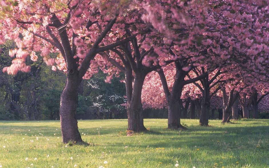 又是樱花季 日本最美樱花摄影图片精选套图 第