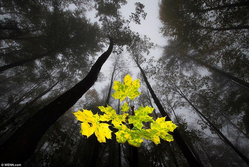 植物及真菌类第二名,《雾霭森林中的枫叶》(maple leaves in fog