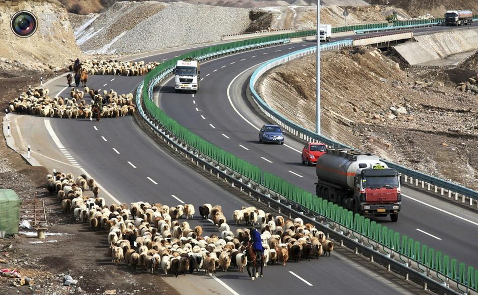 高速路的果子沟路段,牧羊人们赶着羊在路上,路的另一侧是川流不息的车辆-