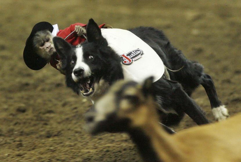 幽默摄影集:动物骑动物的无厘头时刻 组图