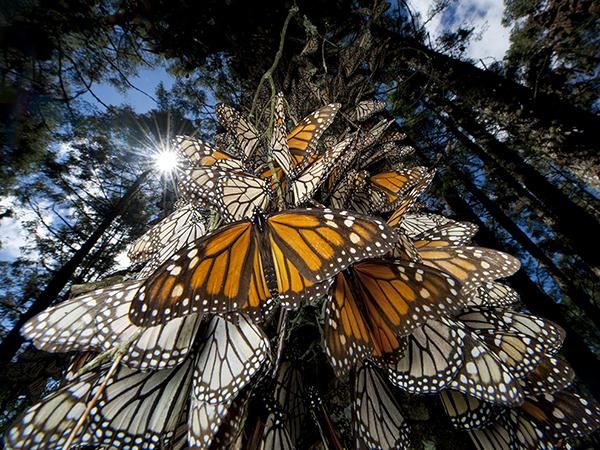 墨西哥,成百万的墨西哥帝王蝶向冬季栖息地迁