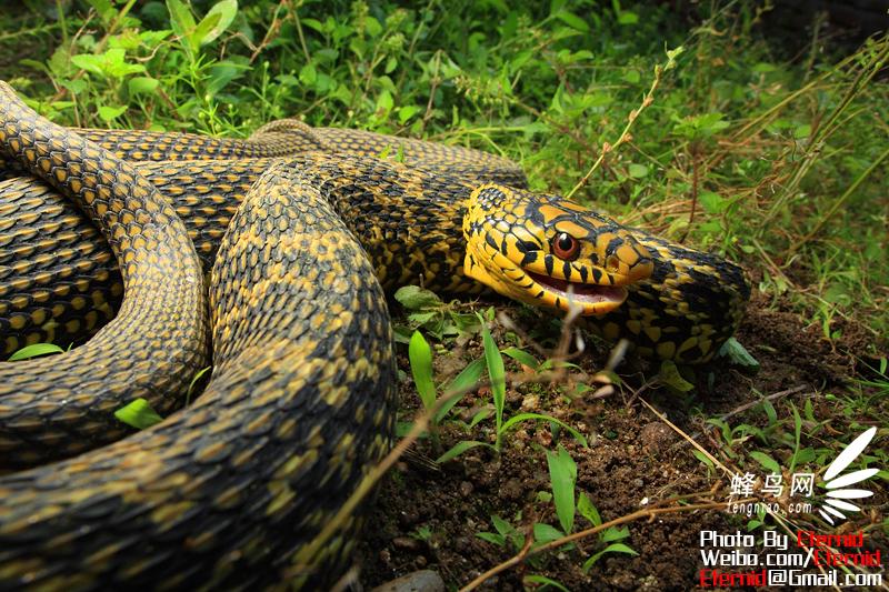 摄影师郑洋的两栖爬行动物摄影作品套图-第56张