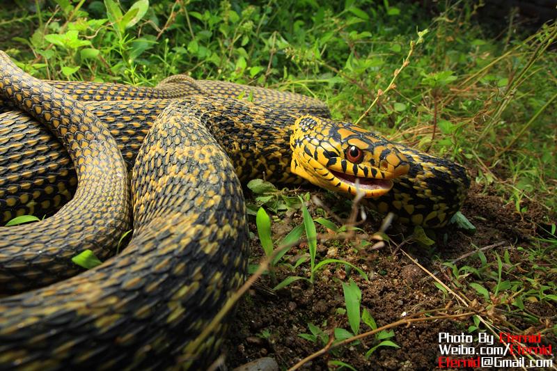 摄影师郑洋的两栖爬行动物摄影作品 组图