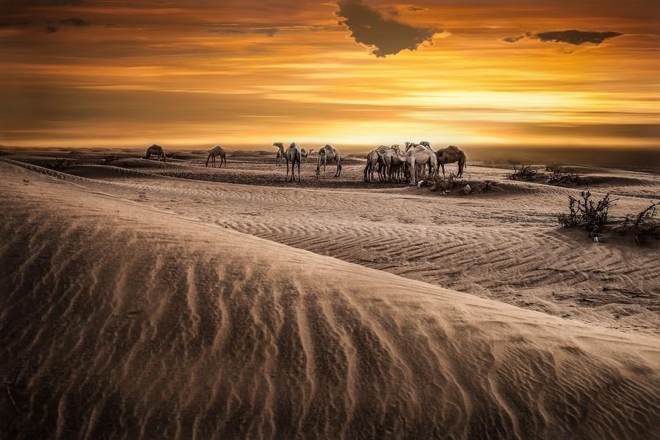 大漠风情的载体 充满魅力的沙漠之舟骆驼 组图