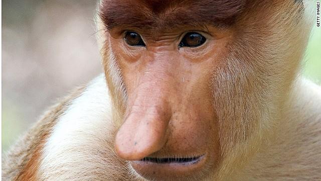 长鼻猴-水滴鱼夺冠 寻找全世界最丑陋的动物套图-第10