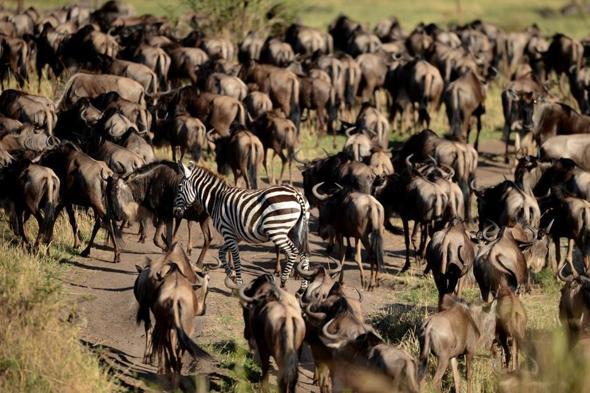 尼罗鳄是处于食物链顶端的捕食者,在坦桑尼亚自然保护区的格鲁美的河
