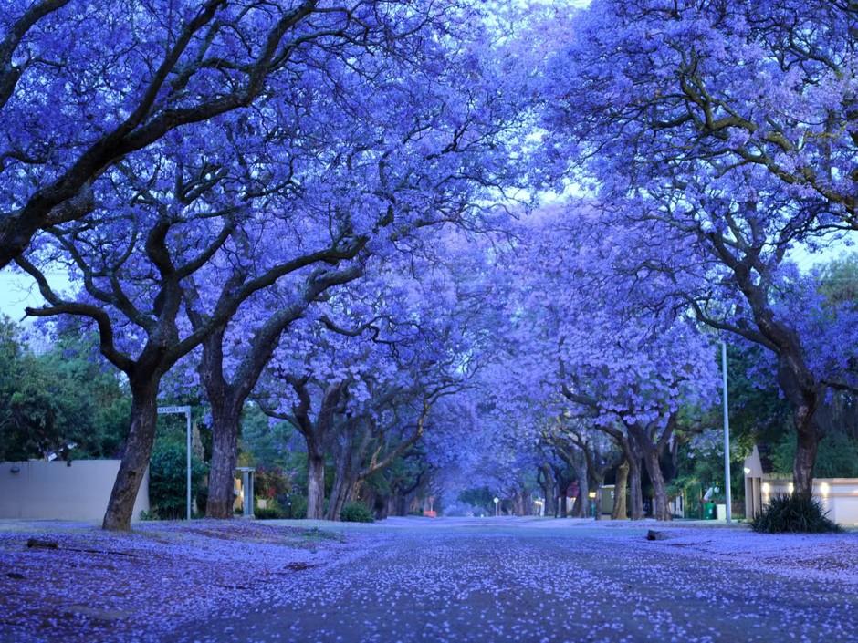 南非紫色季 津巴布韦蓝花楹树盛开 组图