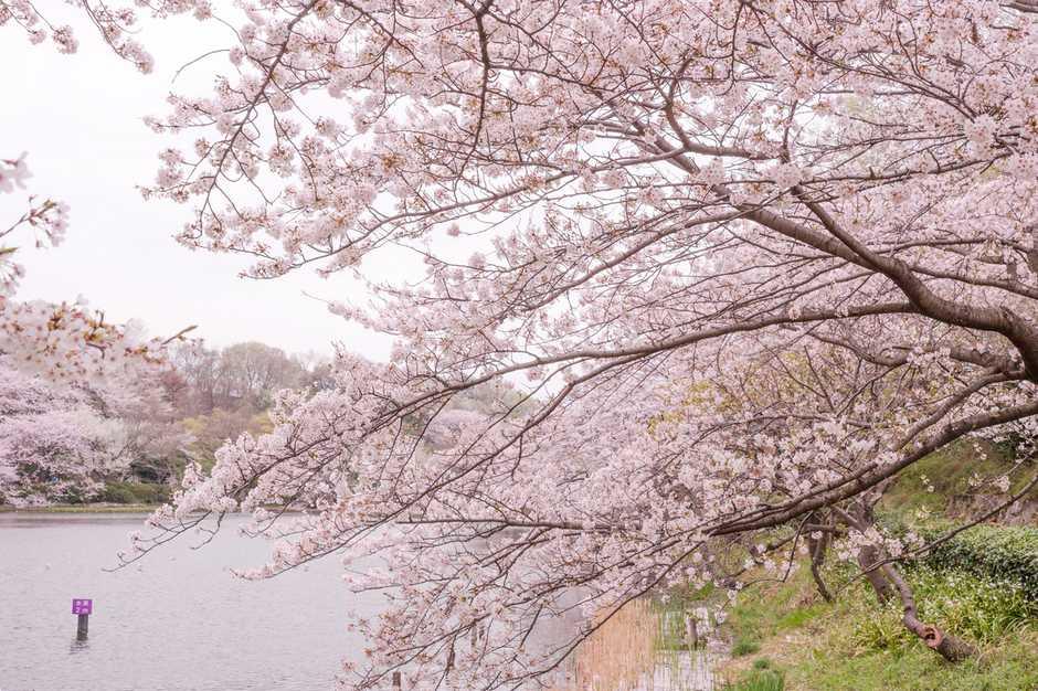 【美图欣赏】花光照海影如潮 留住樱花绽放的万千姿态 组图 - 蓝天白云 - .