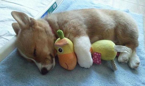 激萌治愈 24张小动物抱玩偶的超可爱睡姿 组图