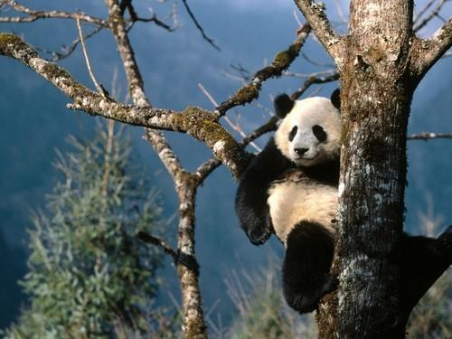 功夫熊猫踢暴全球 超可爱国宝主题壁纸 原创