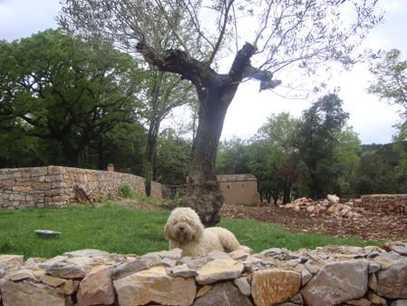 趴在橄榄树下的贝拉