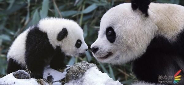 著名野生动物摄影师拍冬季卧龙的可爱熊猫