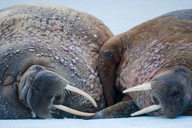 海象的长牙主要用于与其他海象搏斗,同时也用来防御鲸类和鲨鱼的攻击.