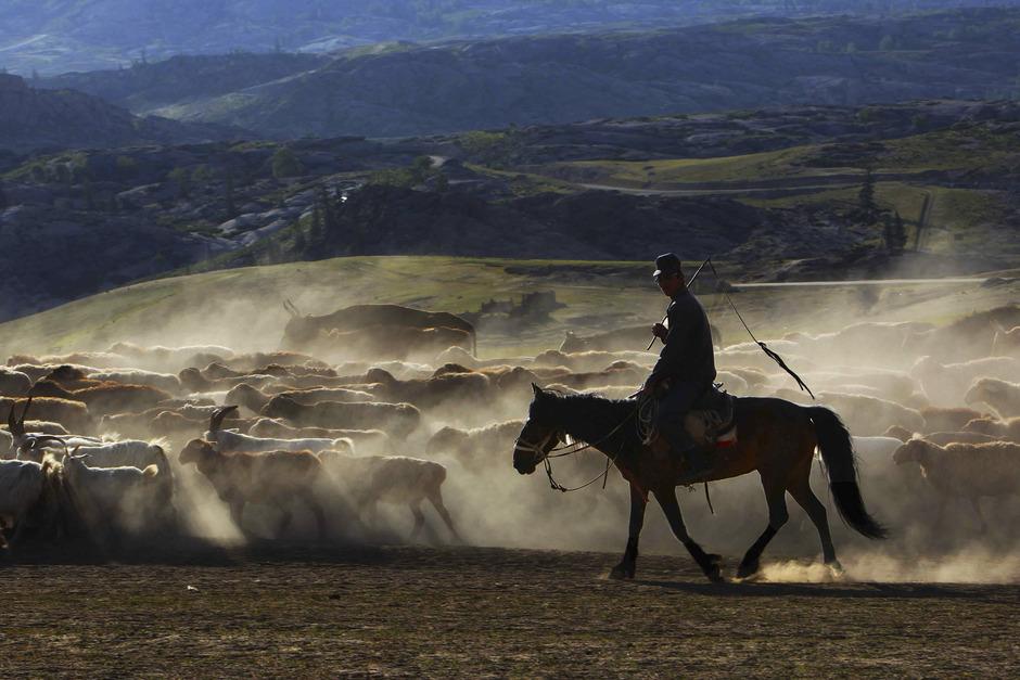 草原美景 新疆阿勒泰百万牲畜转往夏季牧场 组图