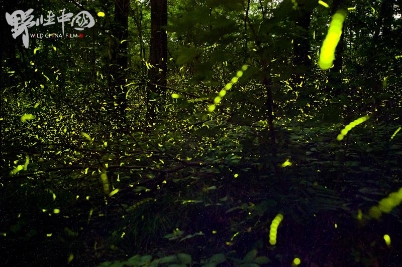 萤火虫 firefly