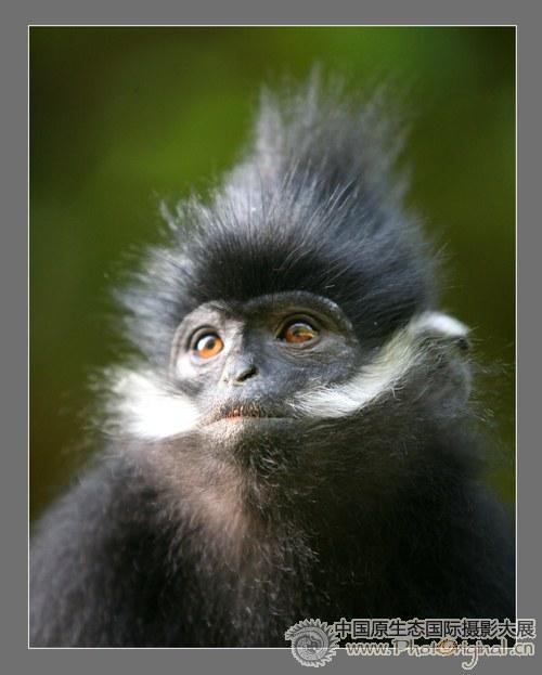 野生动物类二等奖 麻阳河黑叶猴-多彩贵州 第一届获奖作品套图-第3张
