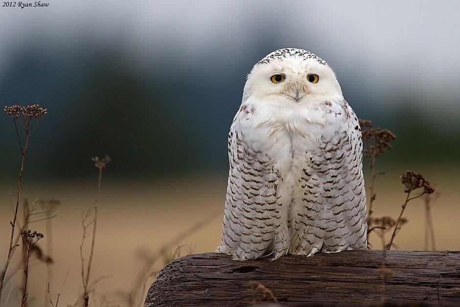 雪鸮+作者+ryan+shaw-40张高清绝美照片