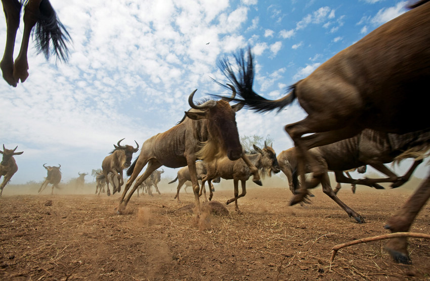 蔚为壮观的野生动物大迁徙