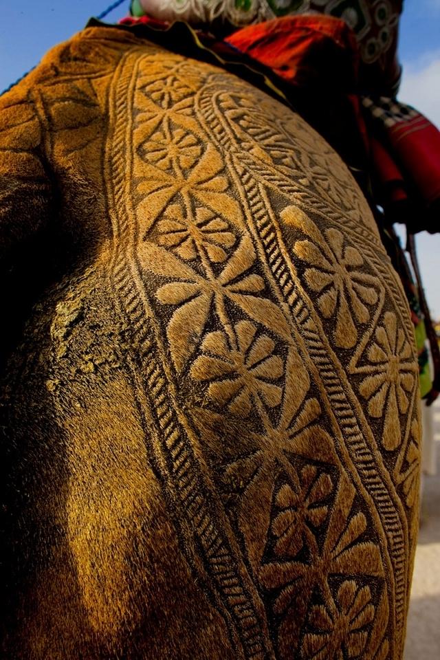 有花纹身的骆驼 印度卡内尔骆驼节开派对-有花纹身
