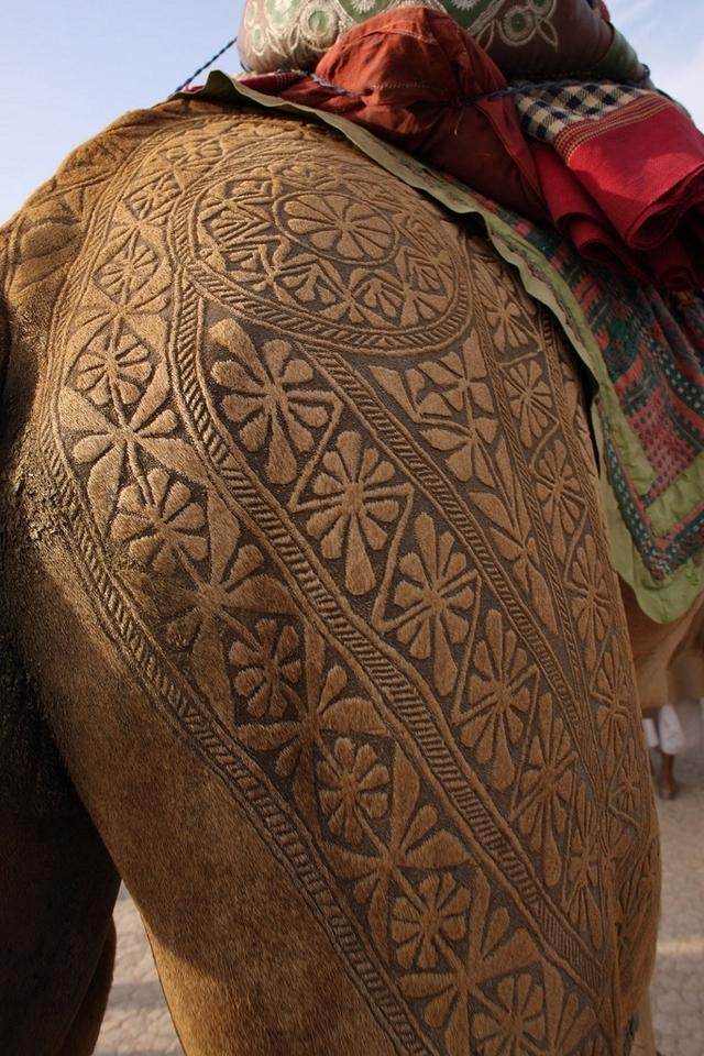 有花纹身的骆驼 印度卡内尔骆驼节开派对-有花纹身的